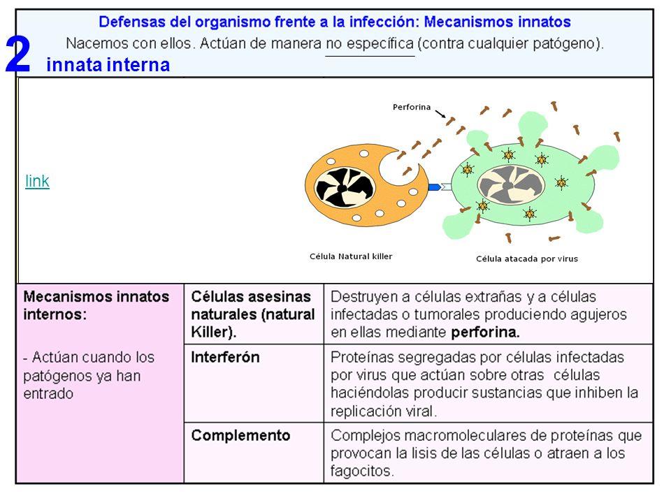 LA RESPUESTA INMUNITARIA II (La respuesta celular ) 2a) Los linfoblastos T DTA actúan sobre los macrófagos activándolos y trasformándolos en células enfadadas.