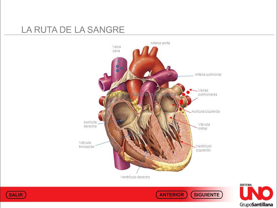 LA RUTA DE LA SANGRE Vena cava Arteria pulmonar Venas pulmonares Aurícula izquierda Ventrículo izquierdo Válvula mitral Aurícula derecha Válvula tricú