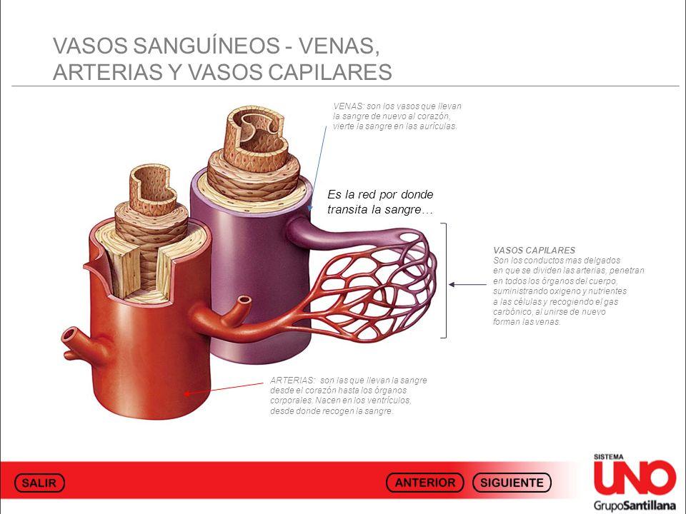 VASOS SANGUÍNEOS - VENAS, ARTERIAS Y VASOS CAPILARES ARTERIAS: son las que llevan la sangre desde el corazón hasta los órganos corporales. Nacen en lo