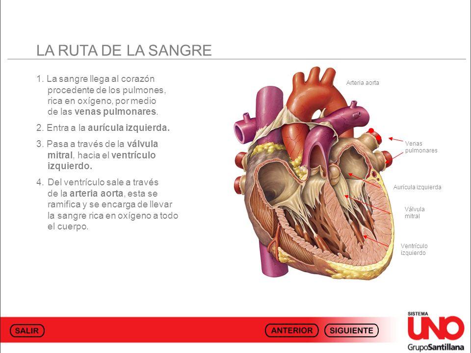 LA RUTA DE LA SANGRE 1. La sangre llega al corazón procedente de los pulmones, rica en oxígeno, por medio de las venas pulmonares. 2. Entra a la auríc