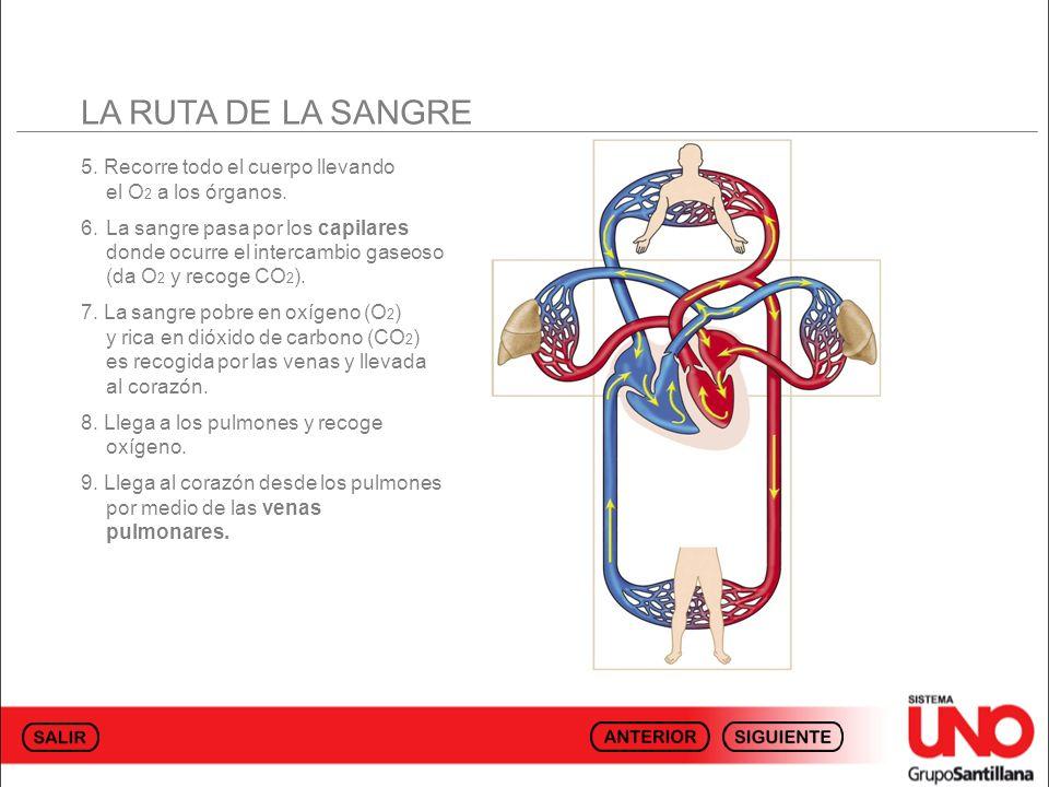 LA RUTA DE LA SANGRE 5. Recorre todo el cuerpo llevando el O 2 a los órganos. 6.La sangre pasa por los capilares donde ocurre el intercambio gaseoso (
