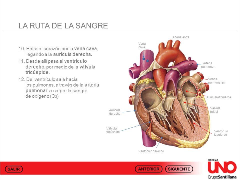 LA RUTA DE LA SANGRE 10. Entra al corazón por la vena cava, llegando a la aurícula derecha. 11. Desde allí pasa al ventrículo derecho, por medio de la