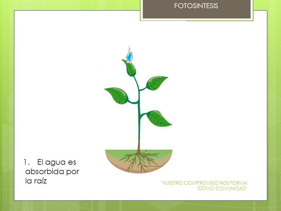 FOTOSINTESIS 1.El agua es absorbida por la raíz