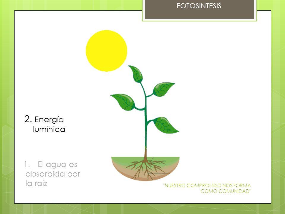FOTOSINTESIS 1.El agua es absorbida por la raíz 2. Energía lumínica