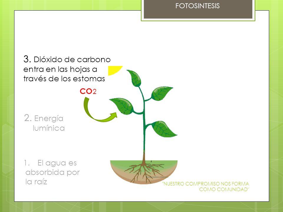 FOTOSINTESIS 1.El agua es absorbida por la raíz 2. Energía lumínica 3. Dióxido de carbono entra en las hojas a través de los estomas CO 2