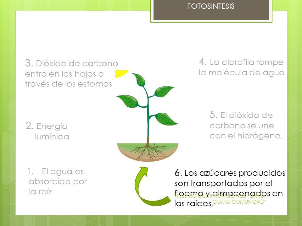 FOTOSINTESIS 1.El agua es absorbida por la raíz 2. Energía lumínica 3. Dióxido de carbono entra en las hojas a través de los estomas 4. La clorofila r