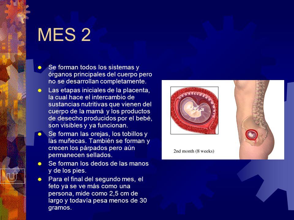 MES 1 Durante las primeras 8 semanas, al bebé en desarrollo se le llama ''embrión