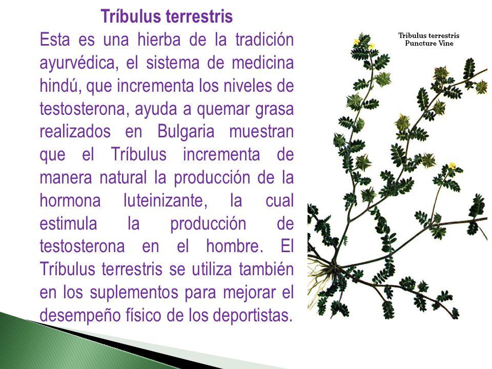 Tríbulus terrestris Esta es una hierba de la tradición ayurvédica, el sistema de medicina hindú, que incrementa los niveles de testosterona, ayuda a q