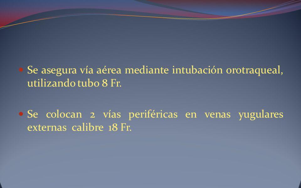 Se asegura vía aérea mediante intubación orotraqueal, utilizando tubo 8 Fr. Se colocan 2 vías periféricas en venas yugulares externas calibre 18 Fr.