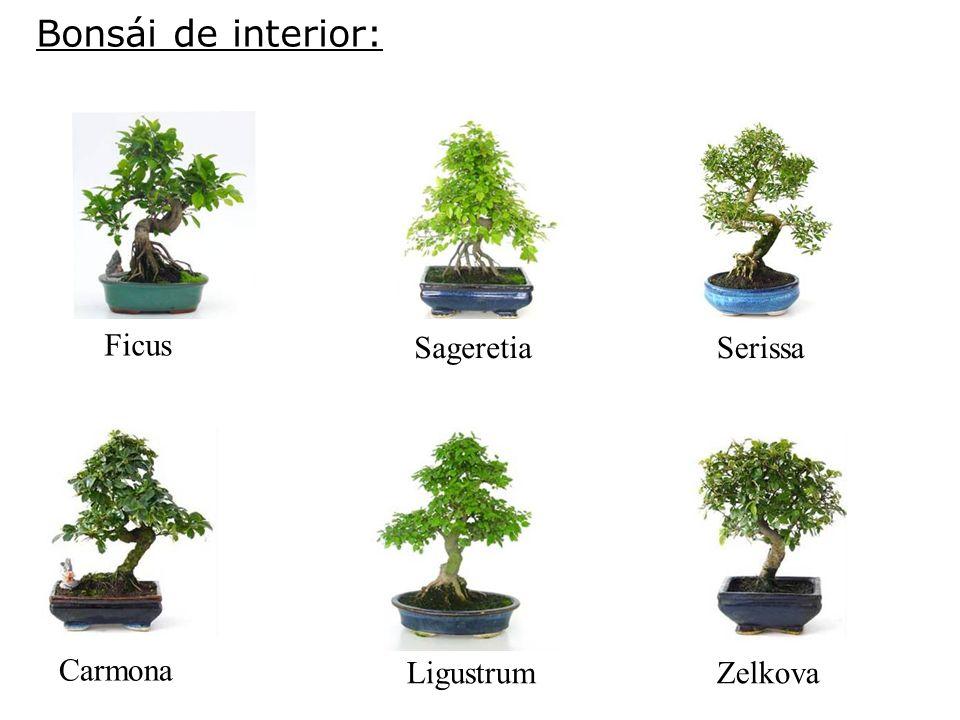 Bonsái de interior: Ficus SageretiaSerissa Carmona LigustrumZelkova
