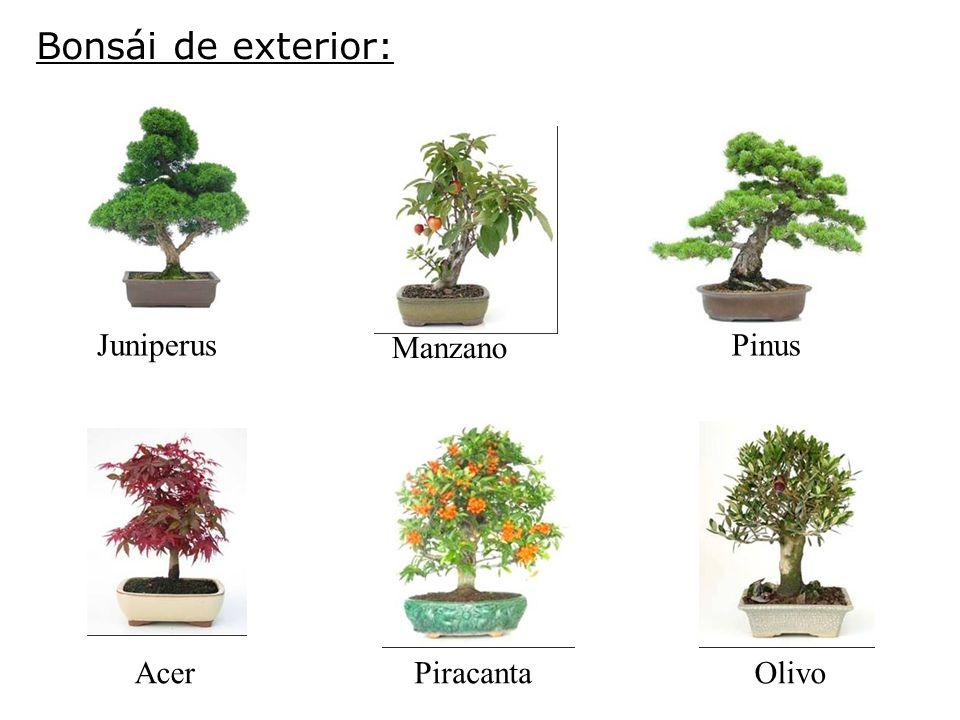 Bonsái de exterior: Acer Juniperus Manzano Pinus PiracantaOlivo