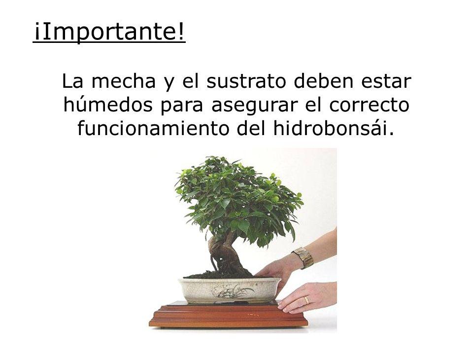 Pinzado de un Ficus Pinzado