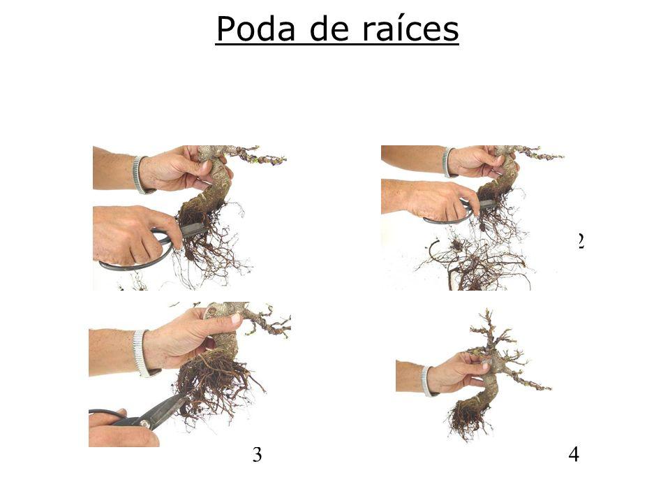Poda de raíces 1 2 34