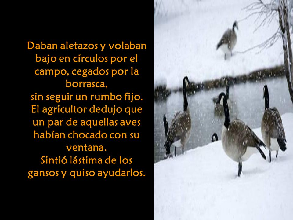 En un campo cercano descubrió una bandada de gansos salvajes.