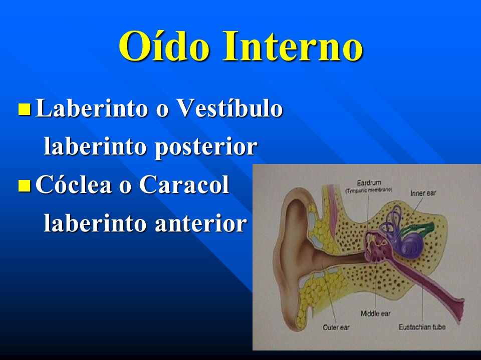Oído Interno Laberinto o Vestíbulo Laberinto o Vestíbulo laberinto posterior laberinto posterior Cóclea o Caracol Cóclea o Caracol laberinto anterior