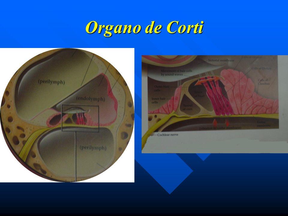 VERTIGO PERIFERICO VERTIGO PAROXISTICO POSICIONAL BENIGNO Cupulolitiasis del canal semicircular posterior Cupulolitiasis del canal semicircular posterior Causa más frecuente de vértigo (30-40%) Causa más frecuente de vértigo (30-40%) Vértigo breve (10-30 segundos duración) Vértigo breve (10-30 segundos duración) Posicional Dinamico Posicional Dinamico Dix-Hallpike (+) con Dix-Hallpike (+) con fatiga y latencia fatiga y latencia TRATAMIENTO TRATAMIENTO Médico: Médico: Sintomático Sintomático Maniobras de reposicionamiento Maniobras de reposicionamiento Quirúrgico: Neurectomía singular Quirúrgico: Neurectomía singular Obliteración CSP Obliteración CSP