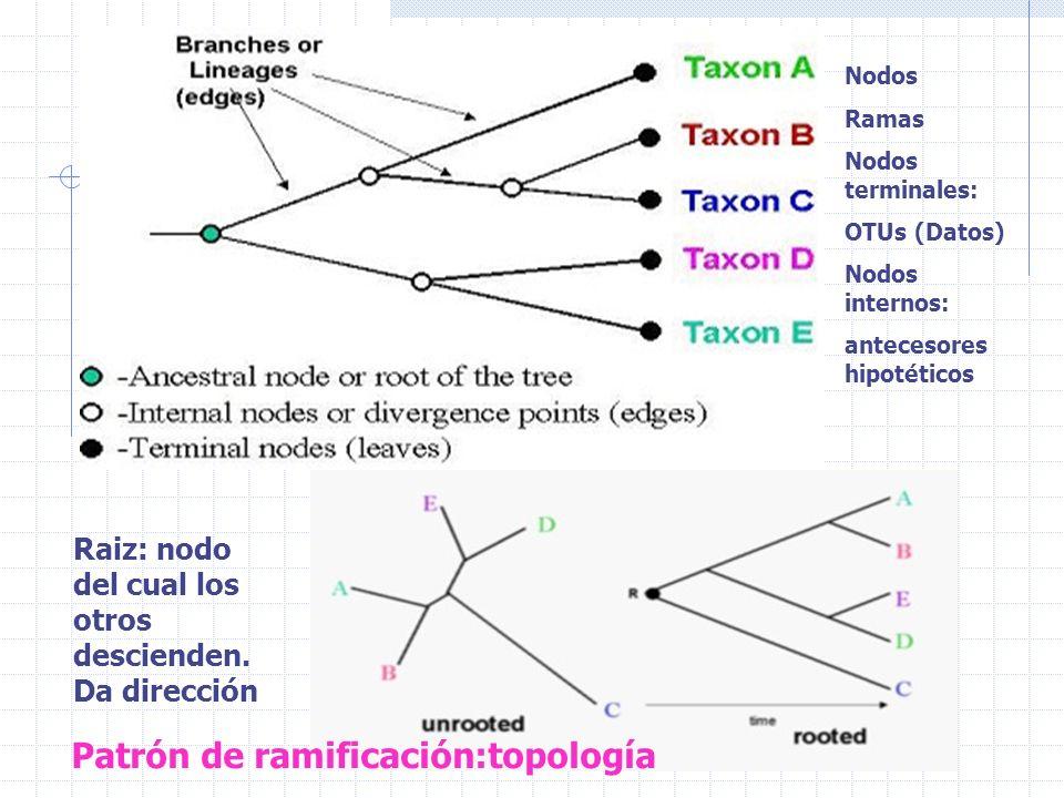 Nodos Ramas Nodos terminales: OTUs (Datos) Nodos internos: antecesores hipotéticos Raiz: nodo del cual los otros descienden. Da dirección Patrón de ra