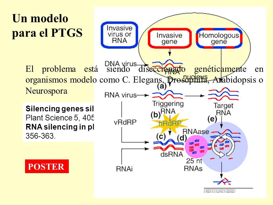 Un modelo para el PTGS Silencing genes silencing genes (2000) S. N. Covey. Trends in Plant Science 5, 405-406 RNA silencing in plants (2004) David Bau