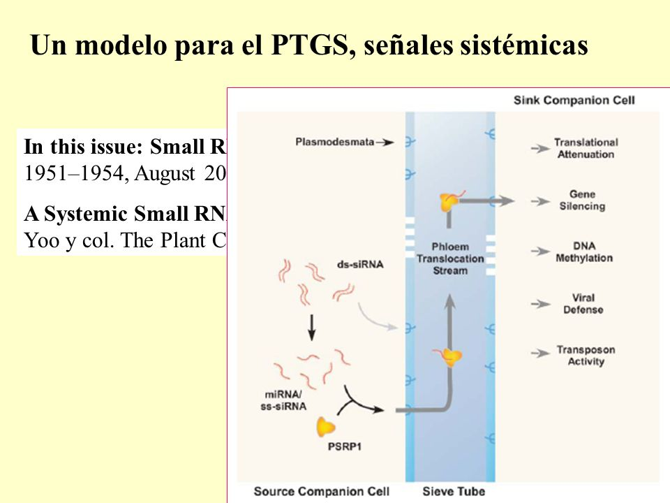 Un modelo para el PTGS, señales sistémicas In this issue: Small RNA on the Move.
