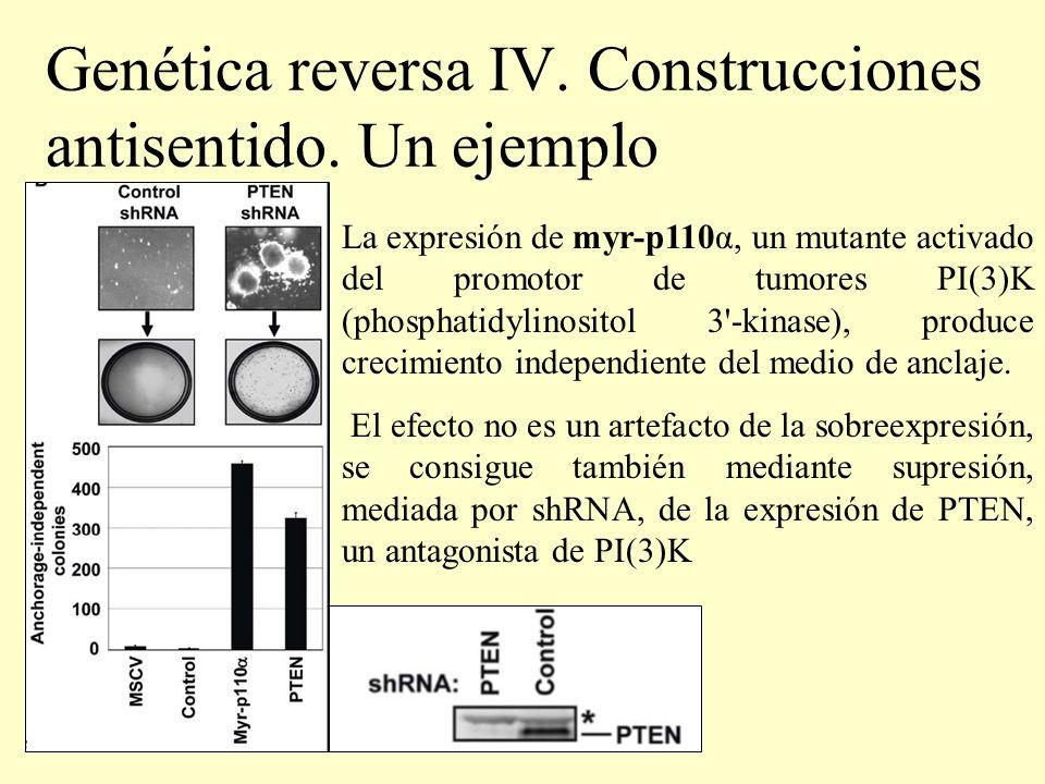 Genética reversa IV. Construcciones antisentido. Un ejemplo La expresión de myr-p110α, un mutante activado del promotor de tumores PI(3)K (phosphatidy