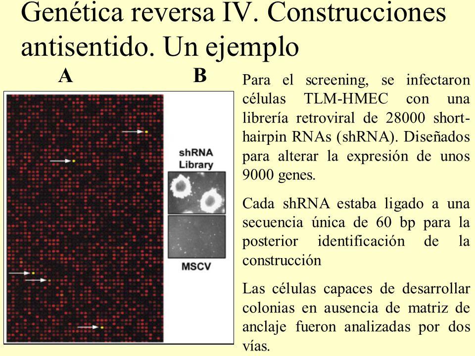 Genética reversa IV. Construcciones antisentido. Un ejemplo Para el screening, se infectaron células TLM-HMEC con una librería retroviral de 28000 sho