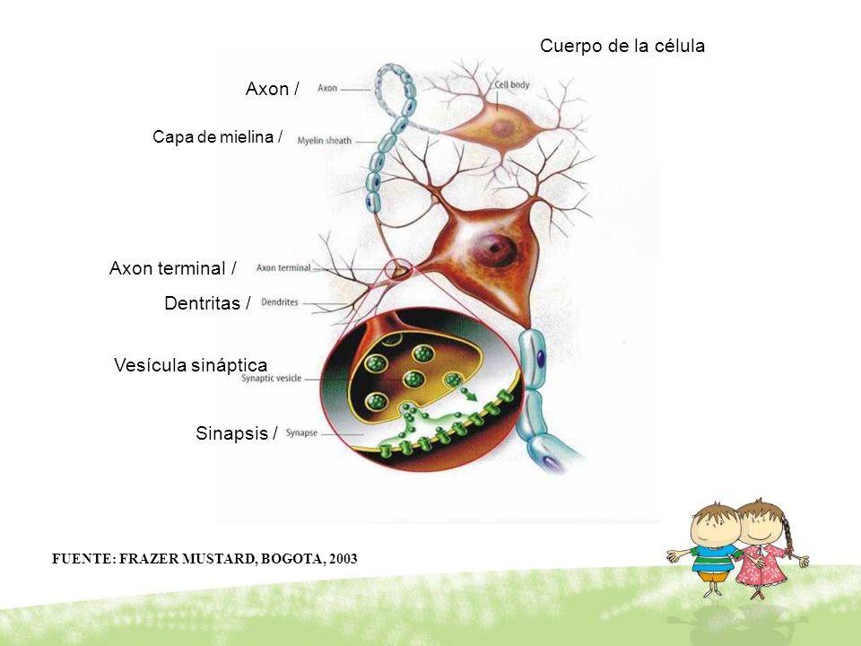 Sinapsis / Axon / Cuerpo de la célula Dentritas / Vesícula sináptica Capa de mielina / Axon terminal / FUENTE: FRAZER MUSTARD, BOGOTA, 2003