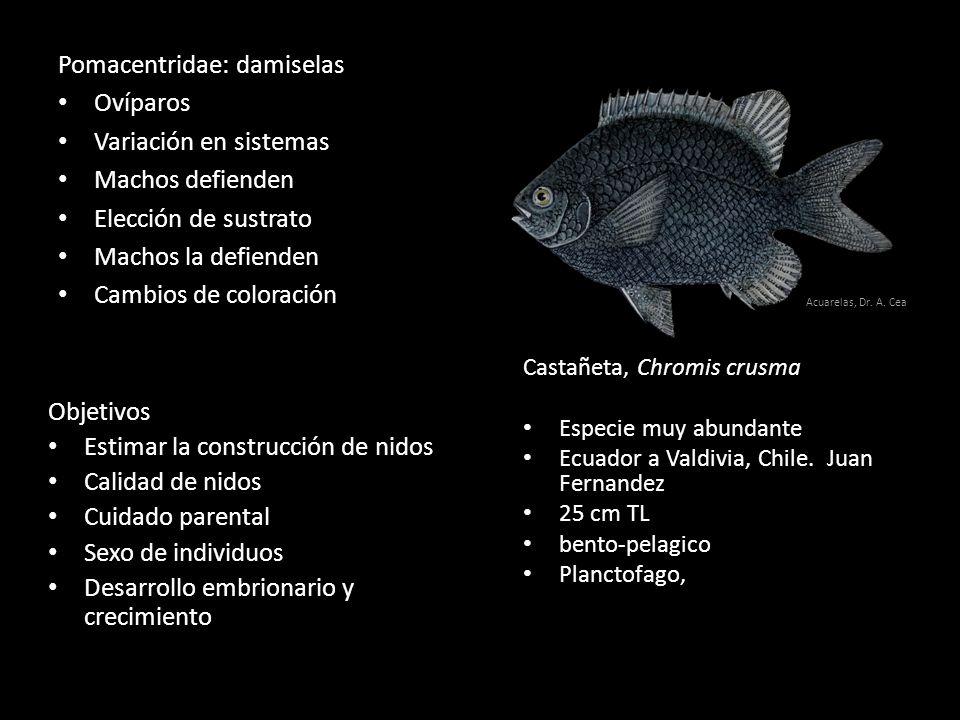 Pomacentridae: damiselas Ovíparos Variación en sistemas Machos defienden Elección de sustrato Machos la defienden Cambios de coloración Castañeta, Chromis crusma Especie muy abundante Ecuador a Valdivia, Chile.
