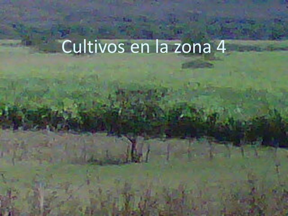 Cultivos en la zona 4