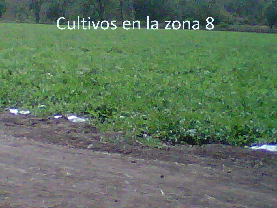 Cultivos en la zona 8