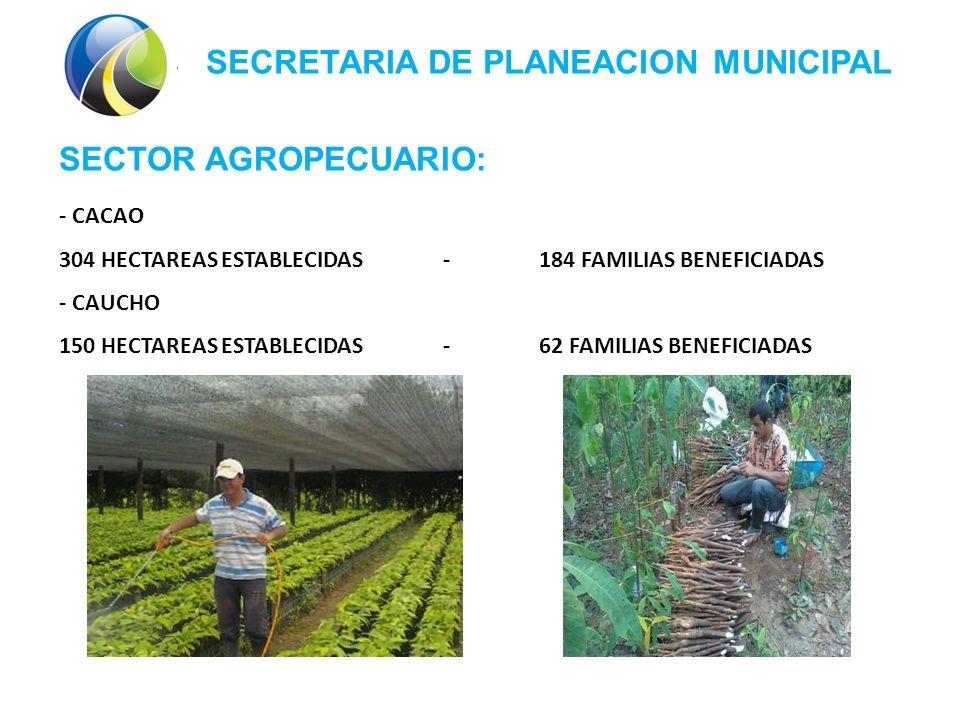 SECRETARIA DE PLANEACION MUNICIPAL SECTOR AGROPECUARIO: - CACAO 304 HECTAREAS ESTABLECIDAS -184 FAMILIAS BENEFICIADAS - CAUCHO 150 HECTAREAS ESTABLECIDAS-62 FAMILIAS BENEFICIADAS
