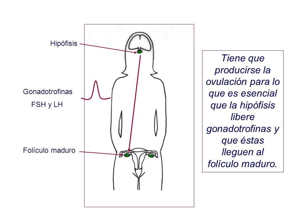 Hipófisis Folículo maduro Tiene que producirse la ovulación para lo que es esencial que la hipófisis libere gonadotrofinas y que éstas lleguen al folí