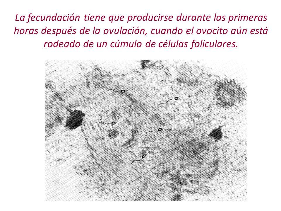 La fecundación tiene que producirse durante las primeras horas después de la ovulación, cuando el ovocito aún está rodeado de un cúmulo de células fol