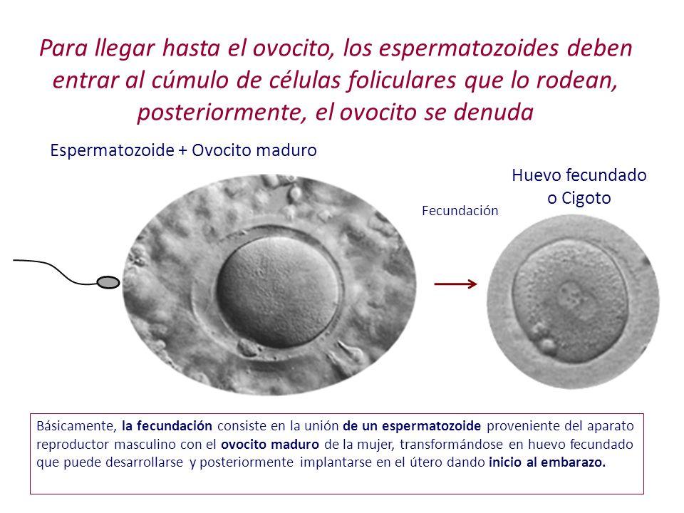 Para llegar hasta el ovocito, los espermatozoides deben entrar al cúmulo de células foliculares que lo rodean, posteriormente, el ovocito se denuda Fe