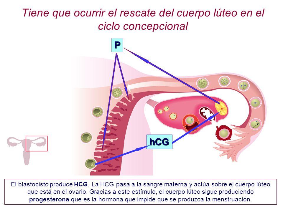 Tiene que ocurrir el rescate del cuerpo lúteo en el ciclo concepcional hCG P El blastocisto produce HCG. La HCG pasa a la sangre materna y actúa sobre
