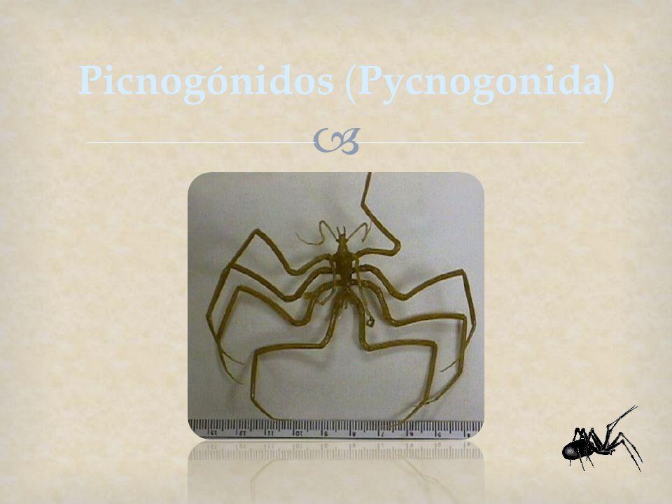 Picnogónidos ( Pycnogonida)