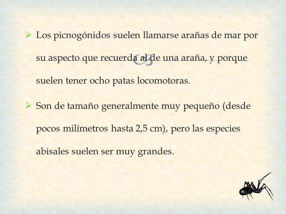 Los picnogónidos suelen llamarse arañas de mar por su aspecto que recuerda al de una araña, y porque suelen tener ocho patas locomotoras. Son de tamañ