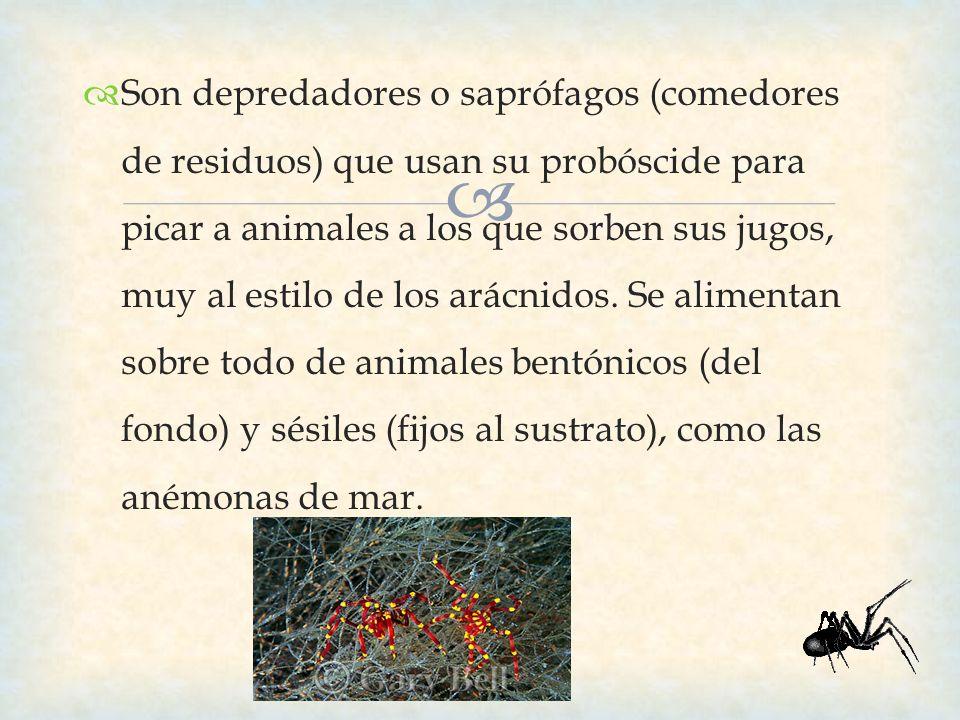 Son depredadores o saprófagos (comedores de residuos) que usan su probóscide para picar a animales a los que sorben sus jugos, muy al estilo de los ar