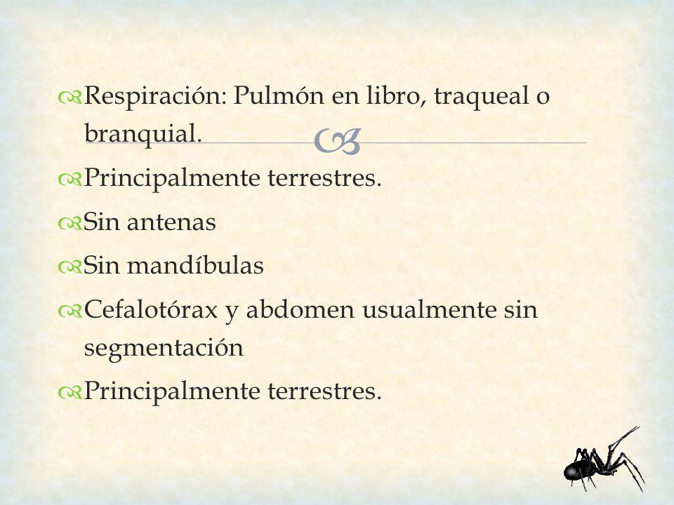 Respiración: Pulmón en libro, traqueal o branquial. Principalmente terrestres. Sin antenas Sin mandíbulas Cefalotórax y abdomen usualmente sin segment