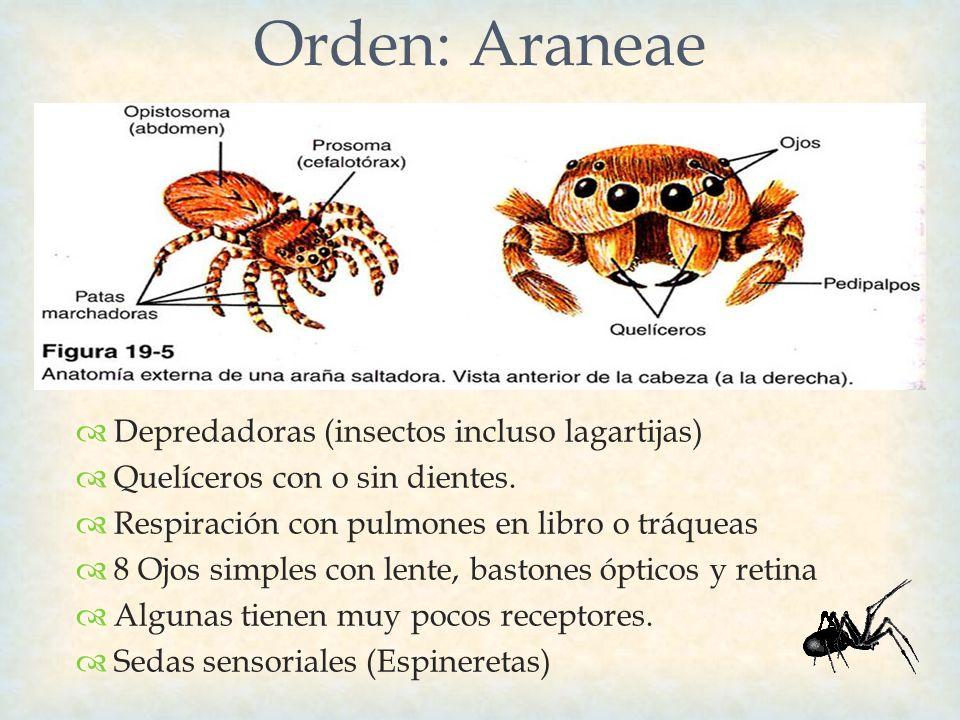 Depredadoras (insectos incluso lagartijas) Quelíceros con o sin dientes. Respiración con pulmones en libro o tráqueas 8 Ojos simples con lente, baston