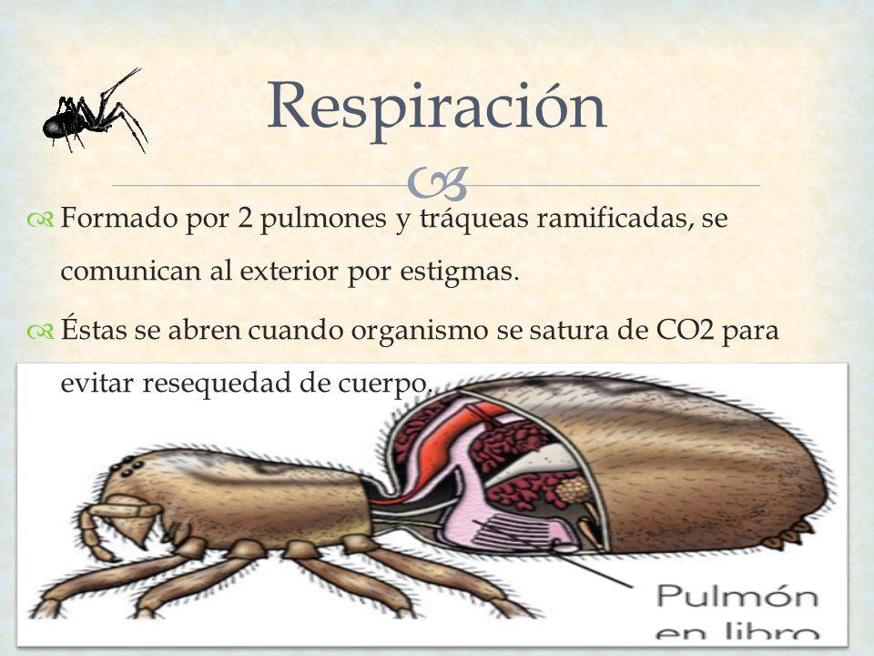 Respiración Formado por 2 pulmones y tráqueas ramificadas, se comunican al exterior por estigmas. Éstas se abren cuando organismo se satura de CO2 par