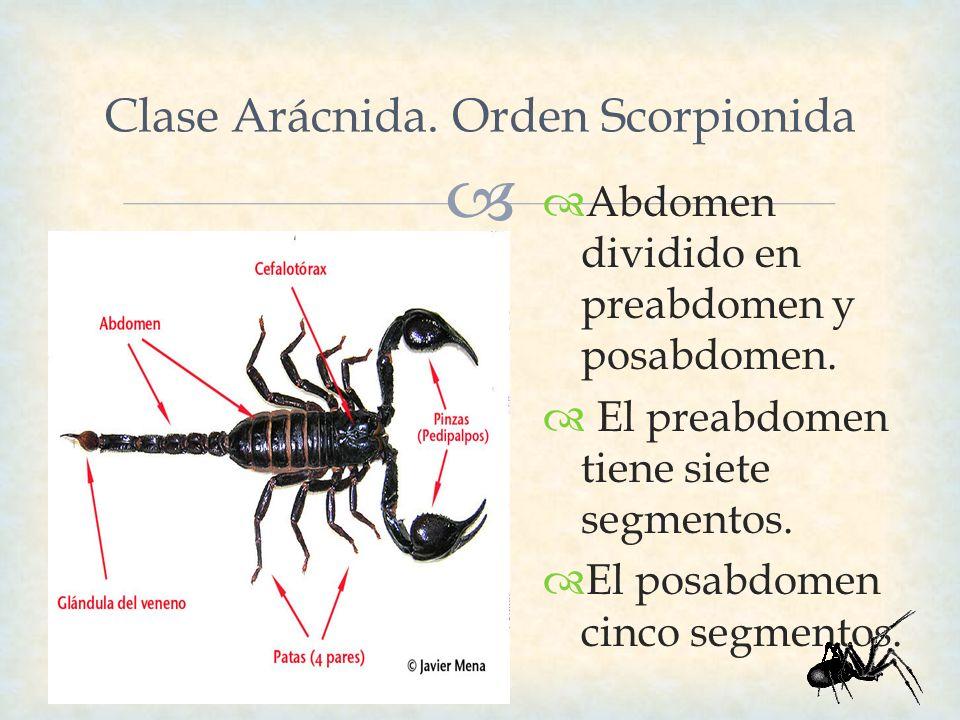 Clase Arácnida. Orden Scorpionida Abdomen dividido en preabdomen y posabdomen. El preabdomen tiene siete segmentos. El posabdomen cinco segmentos.