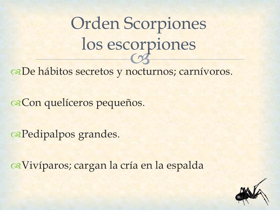 Orden Scorpiones los escorpiones De hábitos secretos y nocturnos; carnívoros. Con quelíceros pequeños. Pedipalpos grandes. Vivíparos; cargan la cría e