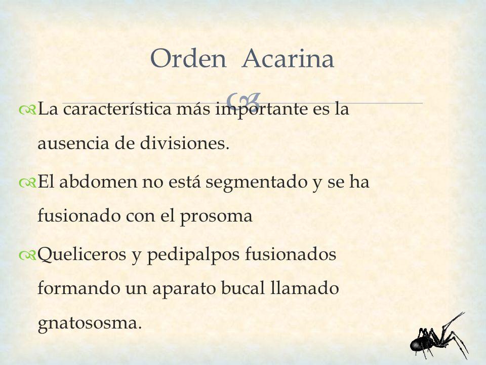 Orden Acarina La característica más importante es la ausencia de divisiones. El abdomen no está segmentado y se ha fusionado con el prosoma Queliceros