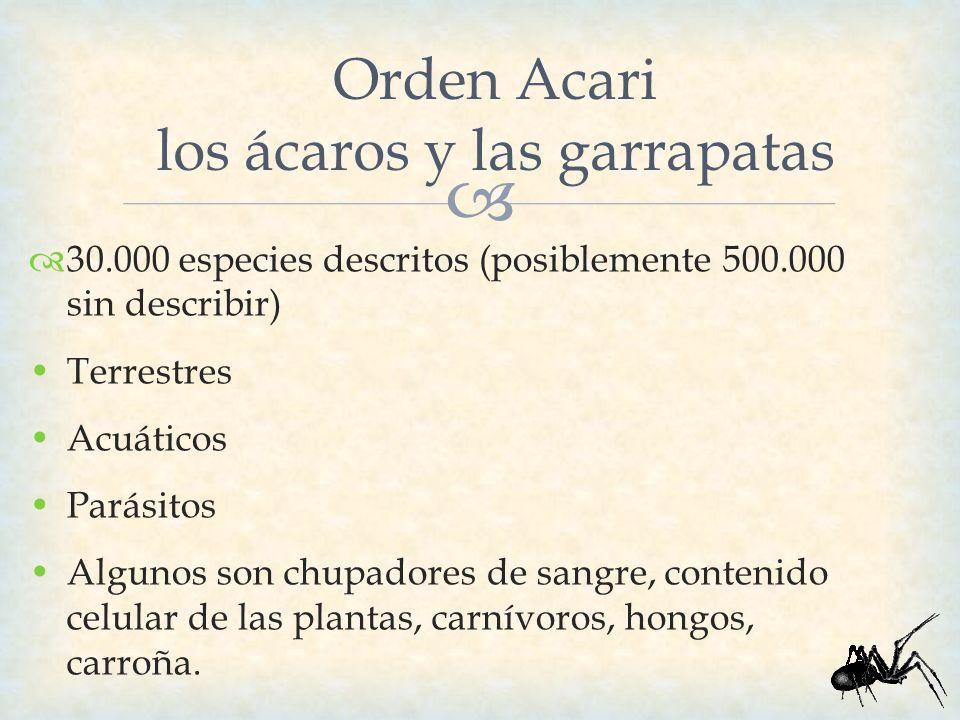 Orden Acari los ácaros y las garrapatas 30.000 especies descritos (posiblemente 500.000 sin describir) Terrestres Acuáticos Parásitos Algunos son chup