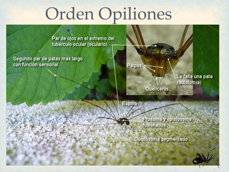 Orden Opiliones