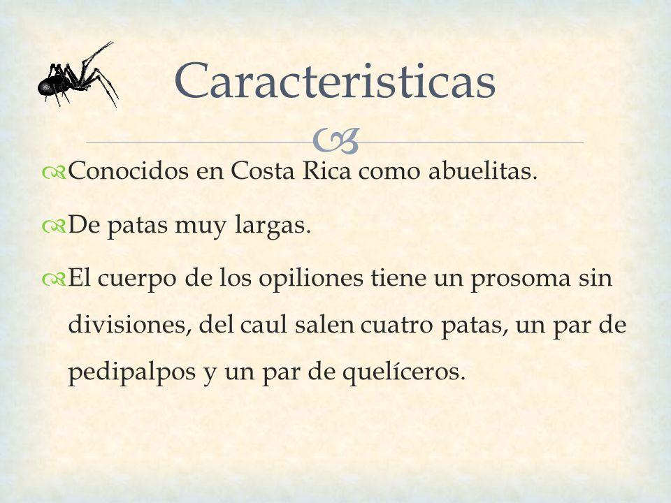 Caracteristicas Conocidos en Costa Rica como abuelitas. De patas muy largas. El cuerpo de los opiliones tiene un prosoma sin divisiones, del caul sale