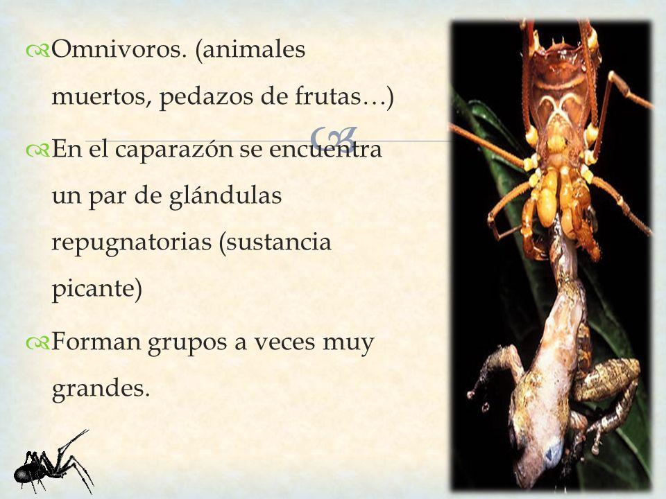 Omnivoros. (animales muertos, pedazos de frutas…) En el caparazón se encuentra un par de glándulas repugnatorias (sustancia picante) Forman grupos a v