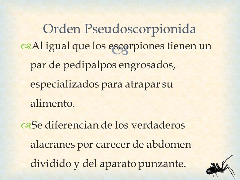 Orden Pseudoscorpionida Al igual que los escorpiones tienen un par de pedipalpos engrosados, especializados para atrapar su alimento. Se diferencian d