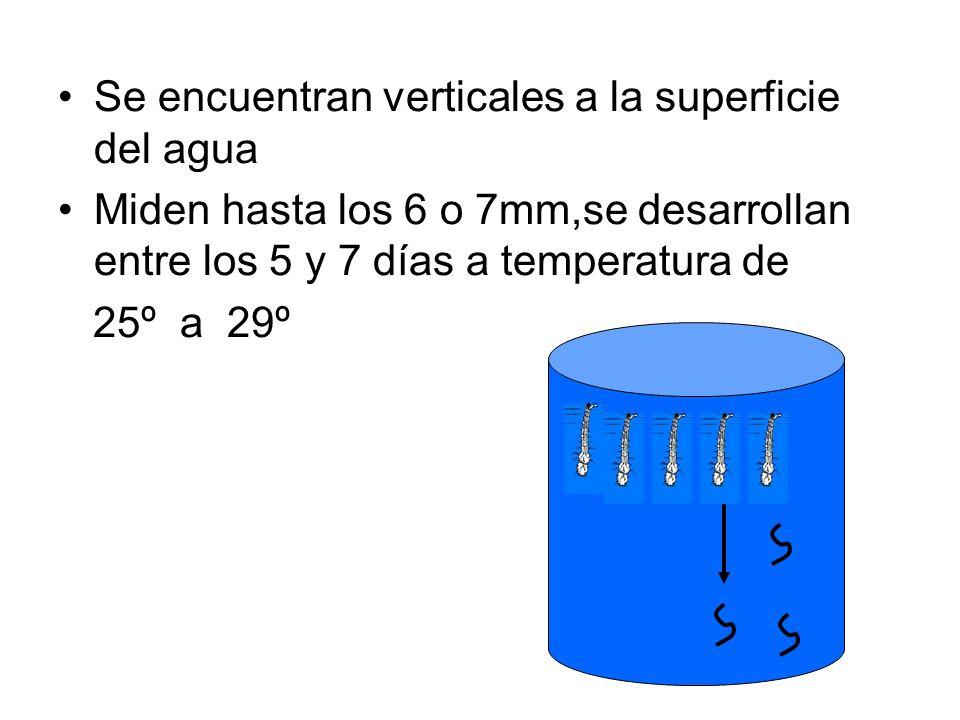 Se encuentran verticales a la superficie del agua Miden hasta los 6 o 7mm,se desarrollan entre los 5 y 7 días a temperatura de 25º a 29º