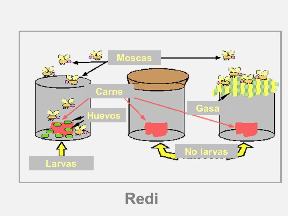Redi Larvas Huevos No larvas Moscas Carne Gasa